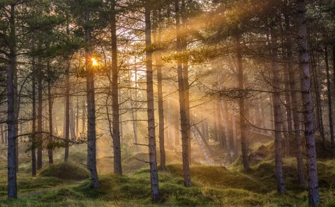 Pine Tree Forest at dawn with sun ray beams