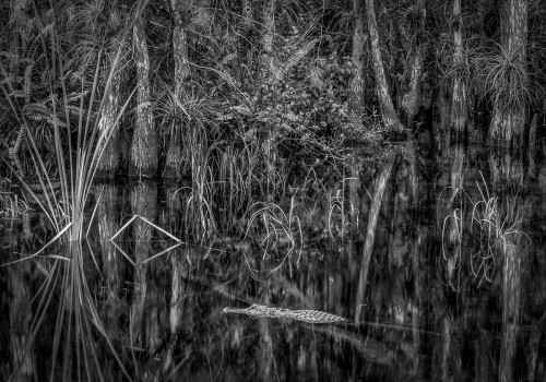 alligator and florida everglades still waters landscape