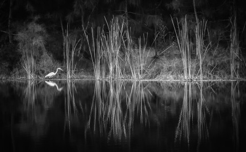 Heron Bird fishing at lakeside with reeds in black and white
