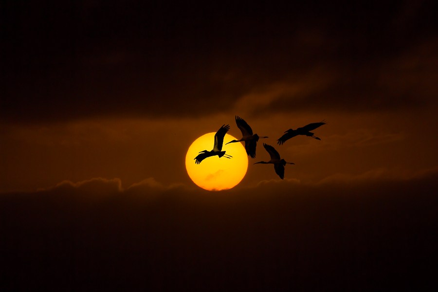 orange sunset with ibis birds flying in the sky in Florida