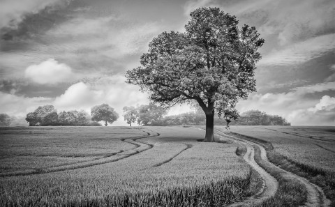 Lone oak tree in a corn field in England in black and white landscape