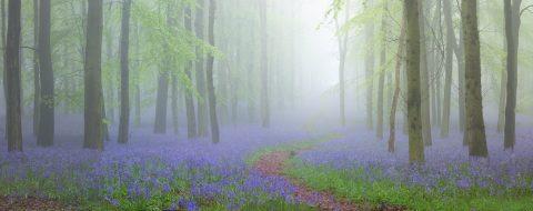 Bluebell-forest-Mist-Morning