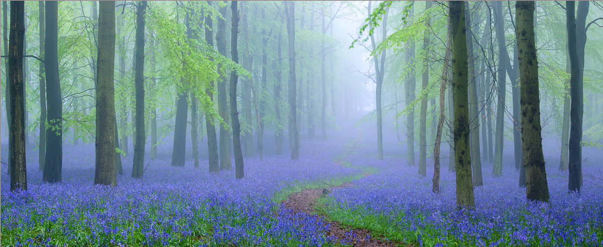 Bluebell-forest-panorama-final-2