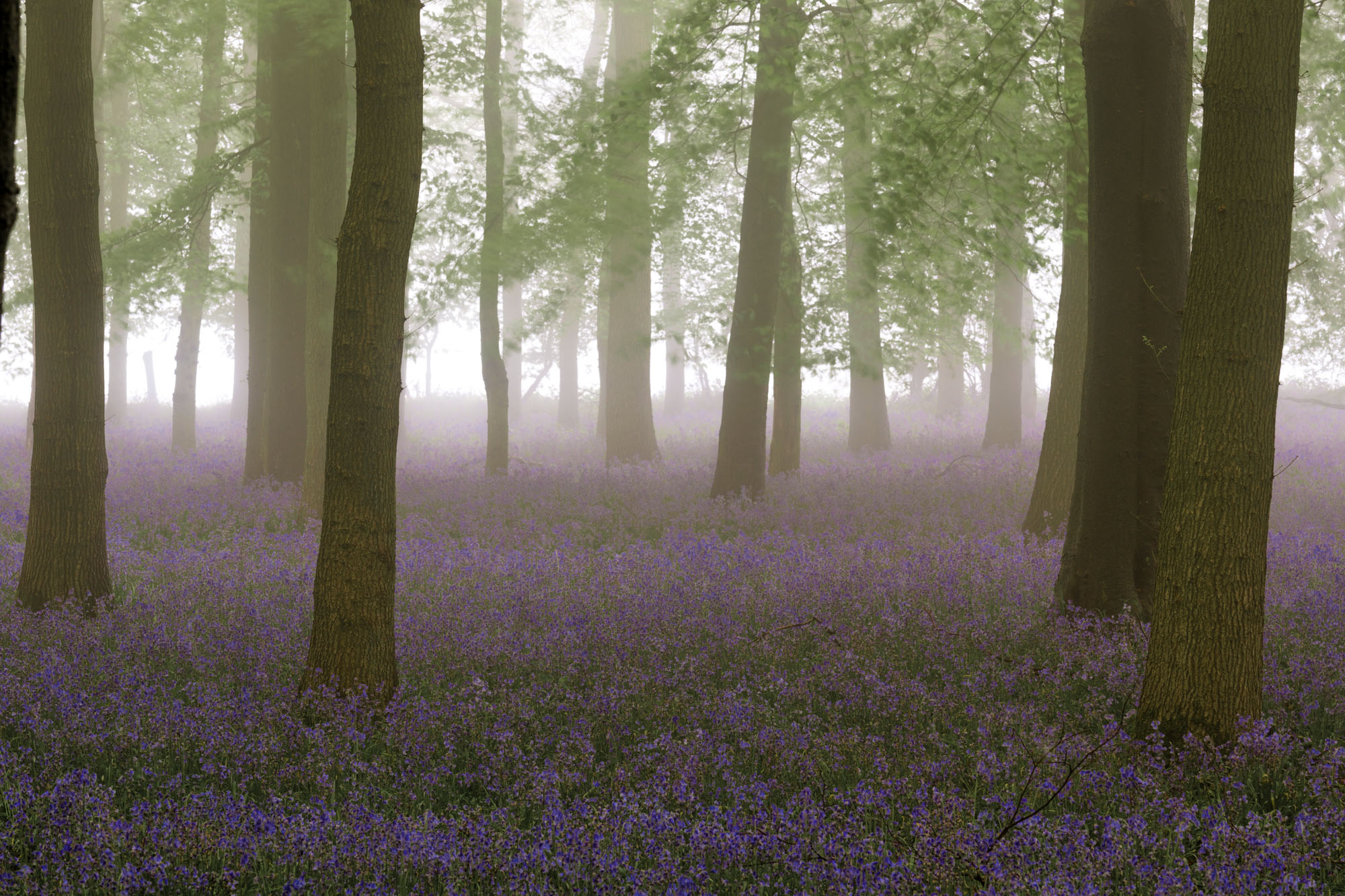 antonyz long exposure landscape photograph of bluebells in a misty woodland in England